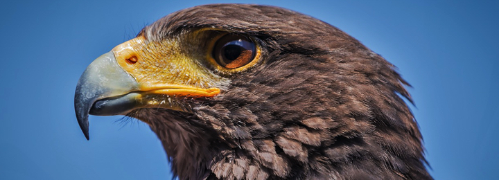Atlanta - Harris Hawk
