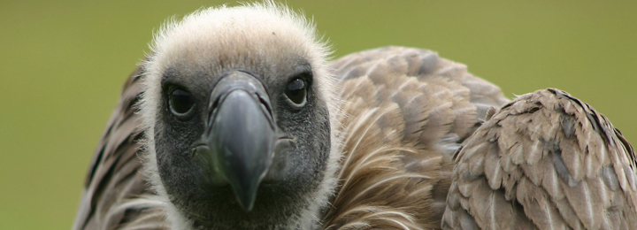 George - African White Backed Vulture