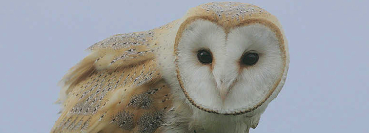 Marmalade - Common Barn Owl